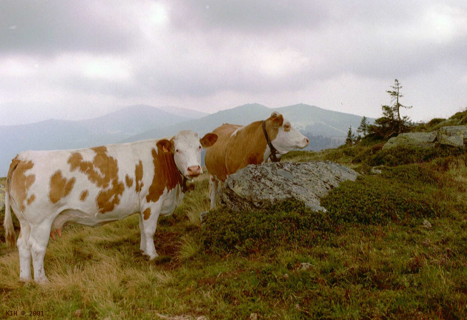 Two Cows on Hill [AT 2001]   KIH